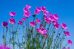 Flor roxa do cosmos e céu azul no jardim Imagem de Stock