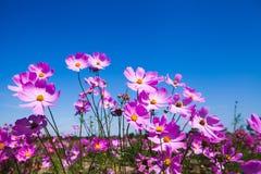 Flor roxa do cosmos e céu azul no jardim Fotos de Stock