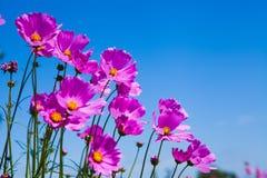 Flor roxa do cosmos e céu azul no jardim Imagens de Stock Royalty Free