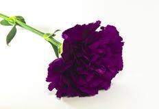 Flor roxa do cravo Fotografia de Stock Royalty Free