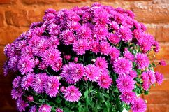 Flor roxa do crisântemo Fotografia de Stock Royalty Free