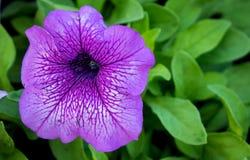 Flor roxa do gerânio Foto de Stock Royalty Free