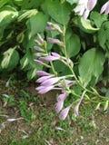 Flor roxa do hosta Imagem de Stock