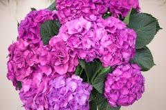 Flor roxa do Hydrangea Fotos de Stock
