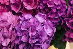 Flor roxa do Hydrangea Imagens de Stock Royalty Free