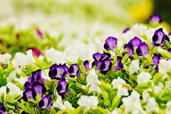 Flor roxa do jardim da desambiguação do amor perfeito fotos de stock royalty free