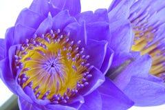Flor roxa do lírio de água Foto de Stock
