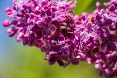 Flor roxa do lilac imagem de stock royalty free