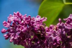 Flor roxa do lilac fotografia de stock royalty free