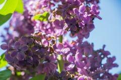 Flor roxa do lilac foto de stock