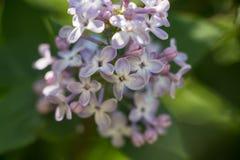 Flor roxa do lilac fotografia de stock