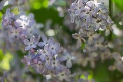 Flor roxa do lilac fotos de stock