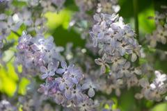 Flor roxa do lilac fotos de stock royalty free