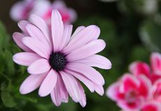 Flor roxa do osteospermum em detalhe Imagem de Stock Royalty Free