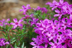 Flor roxa do phlox Fotografia de Stock Royalty Free
