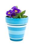 Flor roxa do Primula no potenciômetro azul Imagens de Stock Royalty Free
