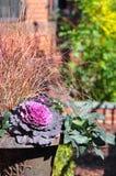 Flor roxa do repolho e grama decorativa vermelha foto de stock royalty free