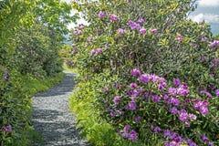 Flor roxa do rododendro ao lado de uma fuga em Grayson Highlands State Park imagem de stock royalty free