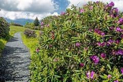 Flor roxa do rododendro em Grayson Highlands State Park imagens de stock royalty free