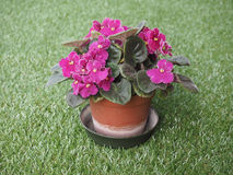 Flor roxa do Saintpaulia Imagens de Stock Royalty Free