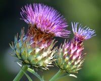 Flor roxa do thistle imagem de stock