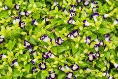 Flor roxa do travancorica de Torenia no jardim imagens de stock royalty free