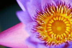 Flor roxa e amarela Imagem de Stock
