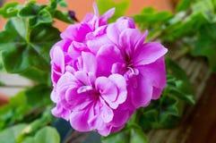 Flor roxa e folhas verdes - ascendente próximo Fotos de Stock Royalty Free