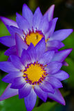 Flor roxa em Maui Fotos de Stock Royalty Free