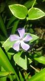 Flor roxa entre a folha verde foto de stock