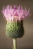 Flor roxa espinhosa da flor Imagem de Stock Royalty Free