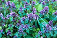 Flor roxa excelente da inoperante-provocação roxa do purpureum do Lamium ou do arcanjo roxo fotos de stock royalty free