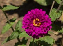 Flor roxa gigante do zinnia de Benary Imagens de Stock Royalty Free