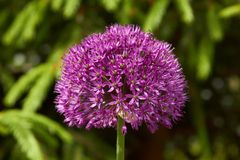 A flor roxa gosta de uma esfera - Allium Imagens de Stock Royalty Free
