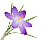 Flor roxa isolada da flor do açafrão Foto de Stock Royalty Free