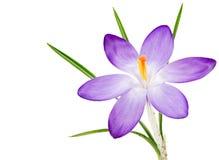Flor roxa isolada da flor do açafrão Imagens de Stock Royalty Free