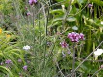 Flor roxa, lilás roxo Fotos de Stock