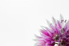 Flor roxa macro no canto Foto de Stock Royalty Free