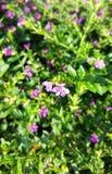 Flor roxa minúscula no campo verde Fotos de Stock Royalty Free