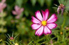 Flor roxa na flor Imagem de Stock Royalty Free