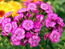 Flor roxa na flor Foto de Stock Royalty Free