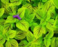 Flor roxa nas folhas verdes Fotografia de Stock Royalty Free