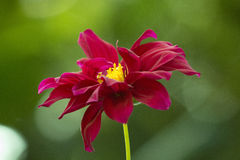 Flor roxa natural Fotos de Stock Royalty Free