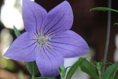 Flor roxa no fundo do bokeh Foto de Stock Royalty Free