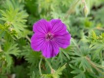 Flor roxa no jardim fotografia de stock royalty free