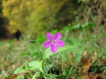 Flor roxa no outono imagens de stock royalty free