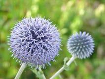 Flor roxa ou violeta no jardim Fotos de Stock Royalty Free