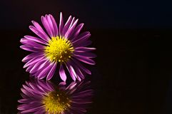 Flor roxa refletida fotos de stock royalty free