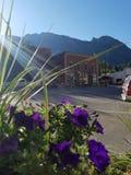 flor roxa selvagem, ouray, co Imagens de Stock
