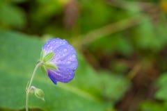 Flor roxa vista de trás com gotas imagens de stock royalty free
